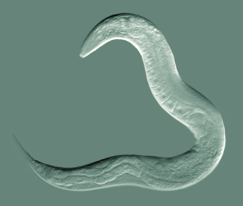 C ElegansMost photographed organism of all time?