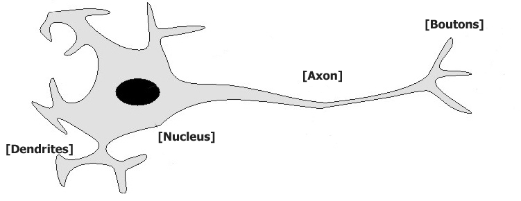 Typical animal neuron